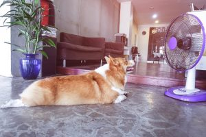 Corgi laying on the floor in front of a fan